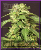 Exotic Exotic Thai Female 5 Marijuana Seeds